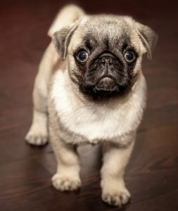 puppy - mopshondje te koop