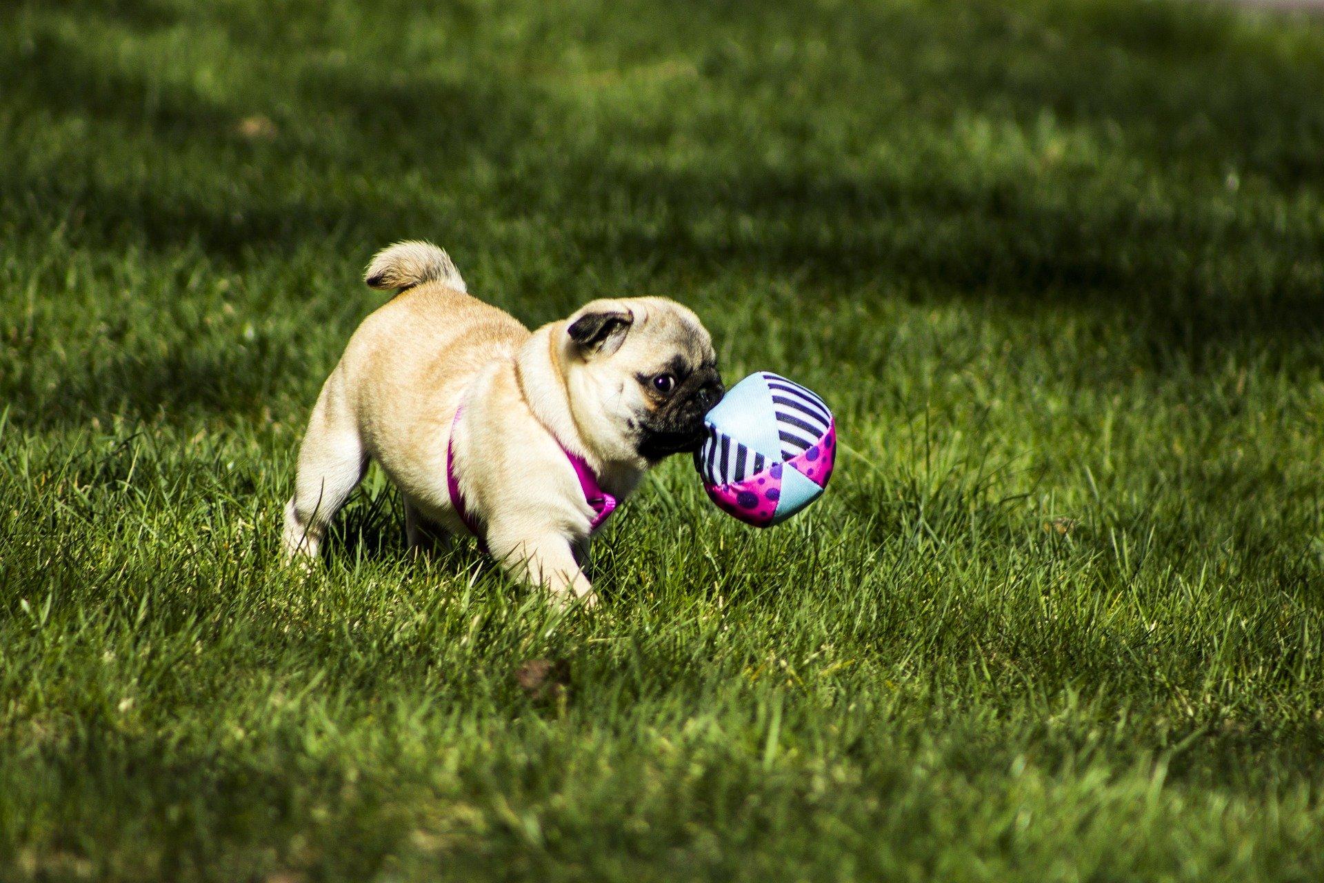 mopshond puppy kopen